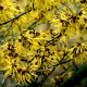 hamamelis_banniere_ingredient